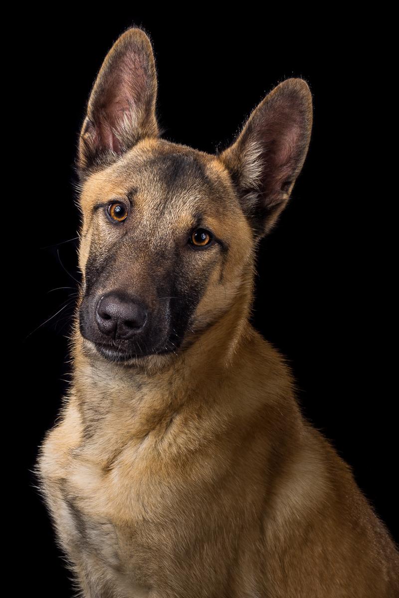 mechelse herder hondenfotografie
