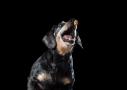 teckel hondenfotografie koekjes-vang
