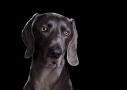 wemeraner hondenfotografie