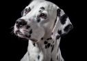 Dalmatiër hondenfotografie