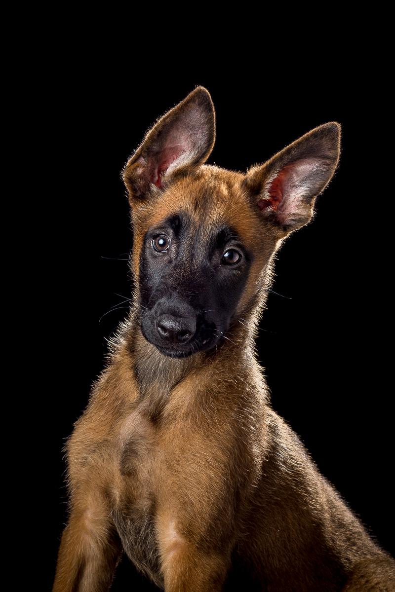 Hondenfotografie mechelseherder pup, blackfoto