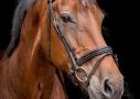 Paardenfotografie KWPN, blackfoto