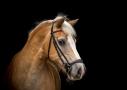 Paardenfotografie haflinger, blackfoto