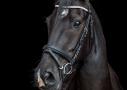 Paardenfotografie new forest, blackfoto
