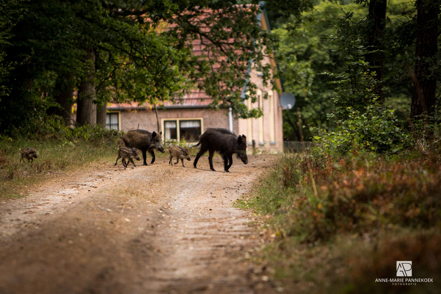 Varkens in het bos