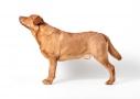 Labrador 2 jaar
