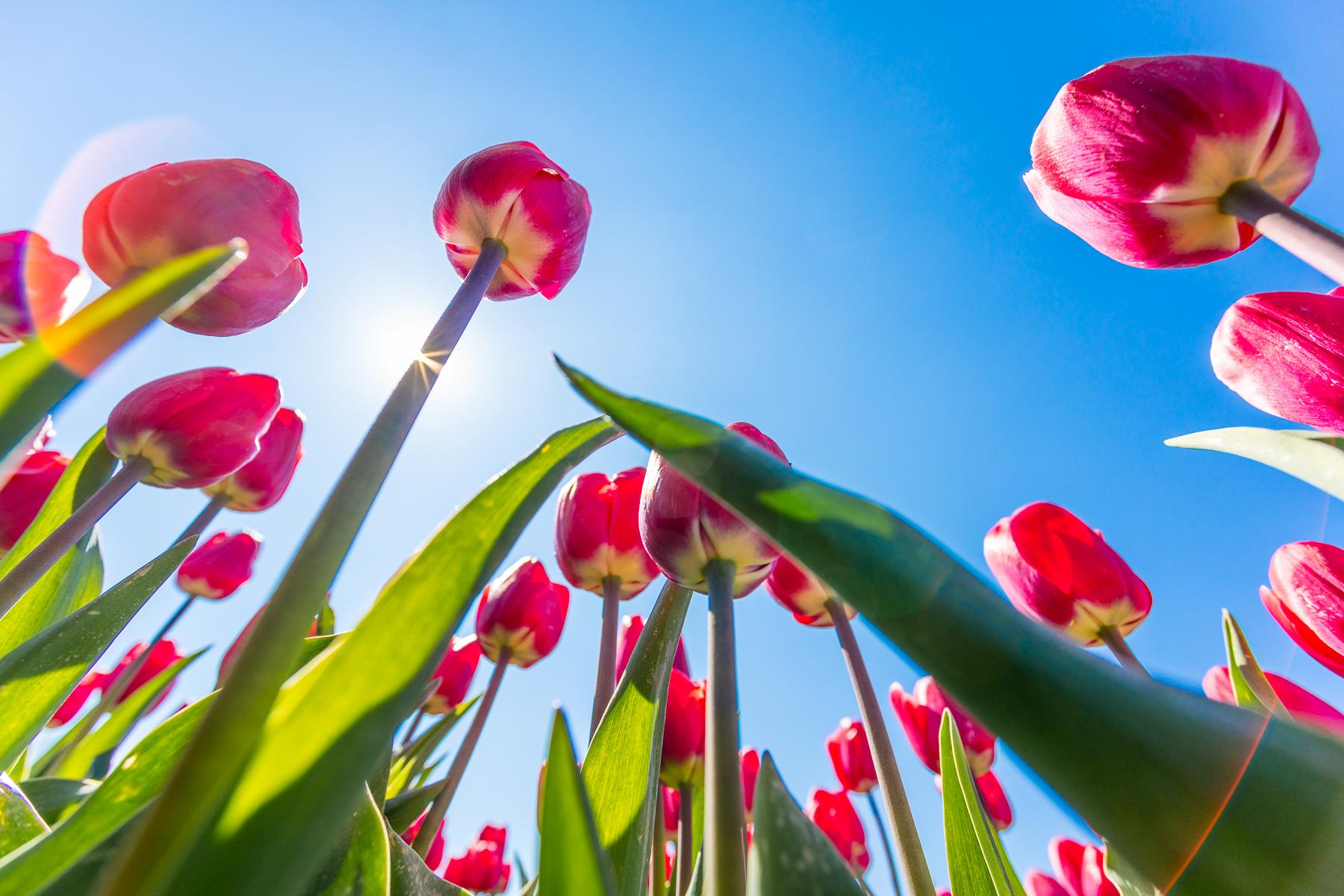 Tulpen flevoland