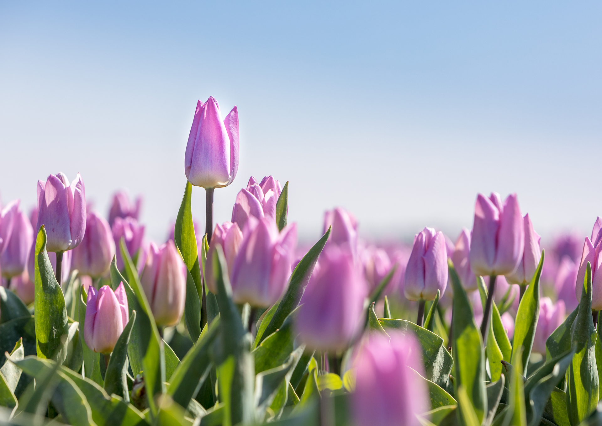 Kaart paarse tulpen in bloembollenveld