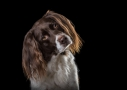 Hondenfotografie Drentsche patrijs